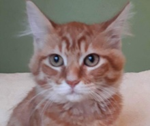 A picture of #ET01886: Royal a Domestic Medium Hair orange