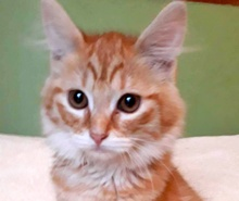 A picture of #ET01887: Chelsea a Domestic Medium Hair orange