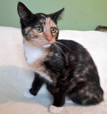 [another picture of Sharon, a Domestic Short Hair calico\ cat]