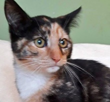 [picture of Sharon, a Domestic Short Hair calico\ cat]