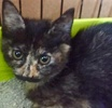 A picture of #ET01890: Penny Lane a Domestic Short Hair tiortie