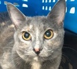 A picture of #ET01891: Eleanor Rigby a Domestic Short Hair dilute tortie