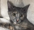 [picture of Eleanor, a Domestic Short Hair tortie cat]