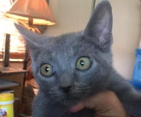 [picture of Ms Pepper, a Russian Blue Mix blue\ cat]