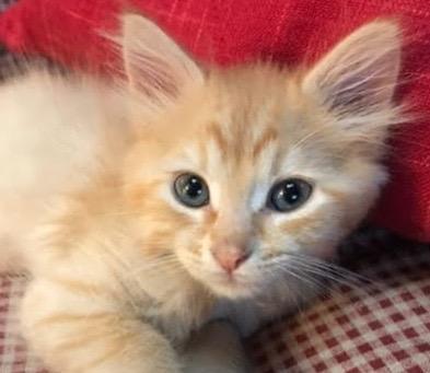 [picture of Quill, a Domestic Medium Hair orange\ cat]