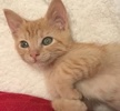 A picture of #ET01894: Quiana a Domestic Short Hair orange