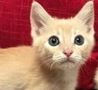 A picture of #ET01895: Quinton a Domestic Short Hair orange