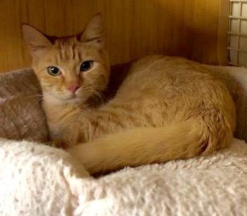 [another picture of Quintessa, a Domestic Medium Hair orange\ cat]