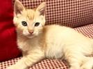 [picture of Quintessa, a Domestic Medium Hair orange cat]
