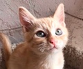 [picture of Quiver, a Domestic Short Hair orange cat]