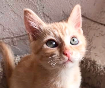 [picture of Quiver, a Domestic Short Hair orange\ cat]