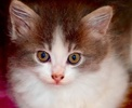 A picture of #ET01899: Luke a Ragdoll Mix blue/white