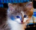 A picture of #ET01900: Fang a Ragdoll Mix Blue/white