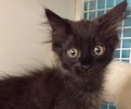A picture of #ET01903: Fudge a Domestic Medium Hair black