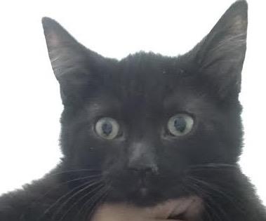 [picture of Boris, a Domestic Short Hair black\ cat]