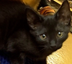 [picture of Natasha, a Domestic Short Hair black\ cat]