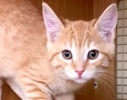 A picture of #ET01909: Rocky a Domestic Short Hair orange