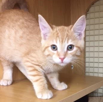 [another picture of Rocky, a Domestic Short Hair orange\ cat]