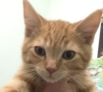 [picture of Rocky, a Domestic Short Hair orange\ cat]