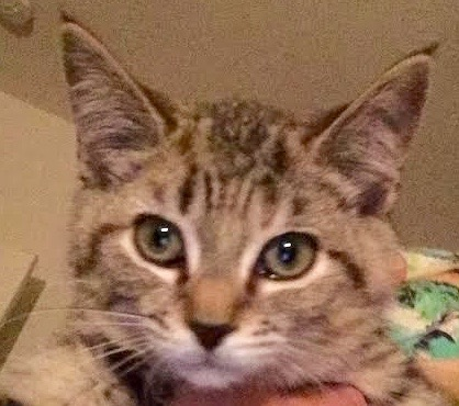 [picture of Nell, a Domestic Short Hair brown tabby/white\ cat]