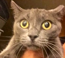 [picture of Missy, a Russian Blue Mix blue\ cat]