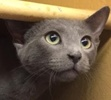 A picture of #ET01916: Tolley a Russian Blue Mix blue