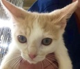 A picture of #ET01921: Deiner a Domestic Short Hair orange/whitw