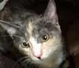A picture of #ET01922: Fressia a Domestic Short Hair dilute calico