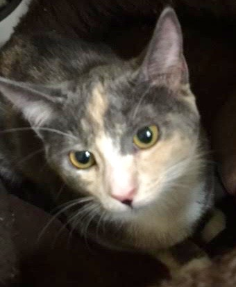 [another picture of Fressia, a Domestic Short Hair dilute calico\ cat]