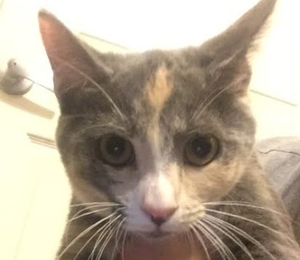 [picture of Fressia, a Domestic Short Hair dilute calico\ cat]