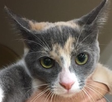 [picture of Bessa, a Domestic Short Hair dilute calico\ cat]