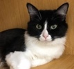 A picture of #ET01925: Dorethea a Domestic Medium Hair black/white