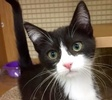 A picture of #ET01926: Ivana a Domestic Short Hair black/white
