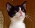 A picture of #ET01927: Ivy a Domestic Short Hair black/white