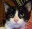 [picture of Ivy, a Domestic Short Hair black/white cat]