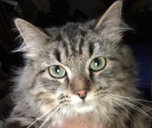 [picture of Iris, a Maine Coon-x gray tabby\ cat]