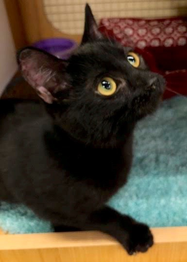 [another picture of Blaze, a Bombay Mix black\ cat]