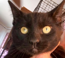 [picture of Blaze, a Bombay Mix black cat]