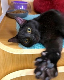 [picture of Blaze, a Domestic Short Hair black\ cat]