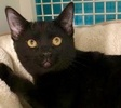 A picture of #ET01930: Bristol a Domestic Short Hair black