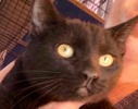 A picture of #ET01931: Lucky a Domestic Short Hair black