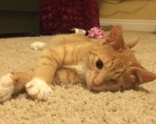 [picture of Alani, a Domestic Short Hair orange/one eye\ cat]