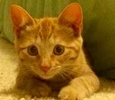 A picture of #ET01933: Kira a Domestic Short Hair orange