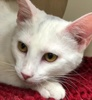 A picture of #ET01934: London a Turkish Van Mix white