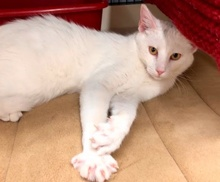 [another picture of London, a Domestic Short Hair white\ cat]