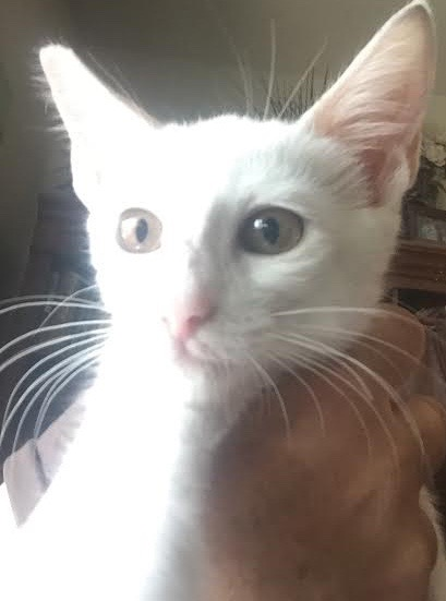 [picture of London, a Turkish Van Mix white cat]