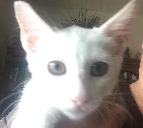[picture of London, a Domestic Short Hair white\ cat]