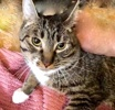 A picture of #ET01936: Berlin a Domestic Short Hair gray tabby/white