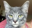 A picture of #ET01937: Titan a Domestic Short Hair silver tabby