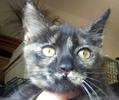 A picture of #ET01938: Alania a Domestic Short Hair tortie